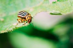 Жук Колорадо Striped картошкой - Leptinotarsa Decemlineata серьезный бич заводов картошек Стоковые Фото