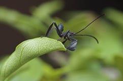 Жук милых передних лист шагающий Стоковые Фото