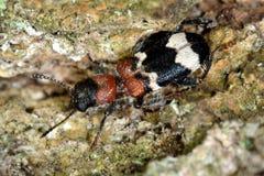 Жук муравья (formicarius Thanasimus) на расшиве Стоковые Фото