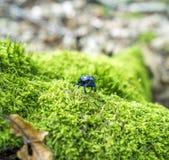Жук навоза леса Стоковые Фото