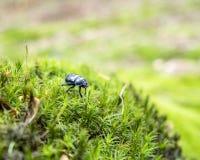 Жук навоза леса Стоковая Фотография RF