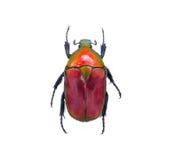 Жук насекомого, или черепашка на белизне Стоковая Фотография