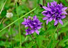 Жук на фиолетовом цветке Стоковое Изображение RF
