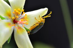 Жук на цветке портулака Стоковое Фото
