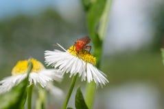 Жук на цветке Стоковое фото RF