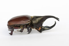 Жук носорога Стоковое Изображение