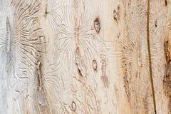 Жук расшивы гравируя оболонь Стоковые Фото