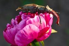 Жук рогача, fairmairel Lucanus, на цветке стоковые фотографии rf
