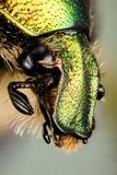 Жук - розовый жук-чефер, aurata Cetonia Стоковая Фотография