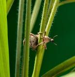 Жук рыльца на траве хлопьев Стоковые Фото