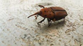 Жук рыльца долгоносика ладони Брайна Стоковая Фотография RF