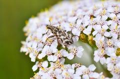 Жук рыльца сидя на цветке тысячелистника Фото макроса крупного плана долгоносика Стоковые Фото