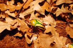 Жук скарабея жук-чефера цветка Стоковое фото RF