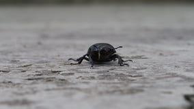 Жук черноты макроса насекомого сток-видео