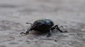 Жук черноты макроса насекомого видеоматериал