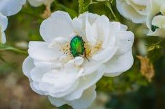 Жук-чефер в цветке белой розы Стоковая Фотография