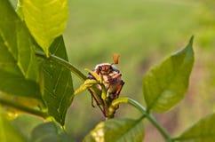 жук-чефер Стоковое Фото