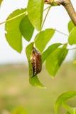 жук-чефер Стоковые Изображения