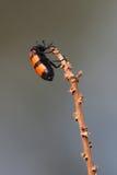 жук Стоковая Фотография