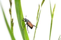 жук Стоковые Фото