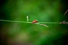 Жук-barbel 2 красных цветов Стоковые Фото
