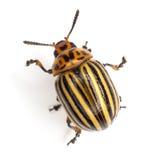 жук colorado Стоковые Фото