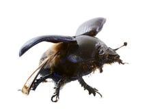Жук Dung Стоковое Изображение