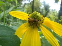 Жук Leatherwing на желтом Coneflower Стоковые Изображения RF