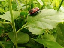 жук ledybug стоковые изображения