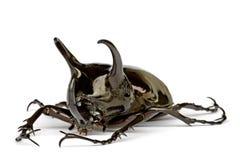 жук rhinocerous Стоковая Фотография