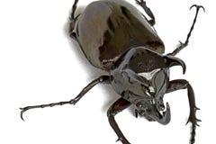 жук rhinocerous Стоковые Изображения RF