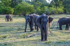 джунгли elefants одичалые Стоковые Изображения