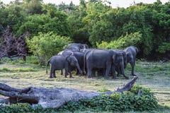 джунгли elefants одичалые Стоковое фото RF