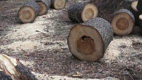 Журналы от свеже отрезанного дерева в древесинах с опилк видеоматериал