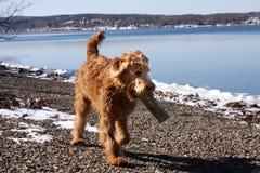 Журнал нося Goldendoodle озером Snowy Keuka Стоковое Фото