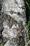 Журнал дерева березы как предпосылка Стоковое Фото