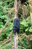 журнал медведя черный Стоковые Изображения RF