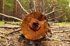 Журнал от спиленной древесины в лесе Стоковое Изображение