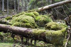 Журналы покрытые с мхом в лесе стоковая фотография rf