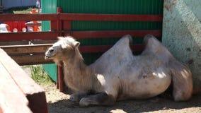 Жуя верблюд лежа в ручке сток-видео