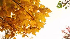 Жёлтый листья на ветке, качнувшись под осенним небом под ветром видеоматериал