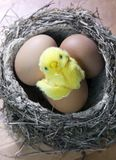 Забавляйтесь цыпленок в раковине яркого пасхального яйца в гнезде с яичками Стоковое Изображение