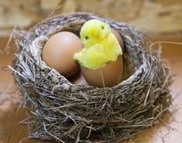 Забавляйтесь цыпленок в раковине яркого пасхального яйца в гнезде с яичками Стоковые Фото