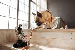 Забавная собака смотря робот его мастера Стоковая Фотография RF