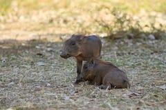 Забавные свиньи warthog Стоковая Фотография RF