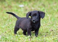 Забавный черный щенок Стоковое Фото