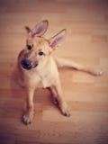 Забавлять чистоплеменный щенка Стоковое Изображение RF