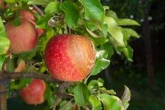 Заболевание грушевого дерев дерева на листьях и плоды закрывают вверх Защита сада против грибка стоковая фотография rf