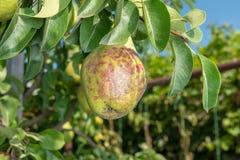 Заболевание грушевого дерев дерева на листьях и плоды закрывают вверх Защита сада против грибка стоковая фотография