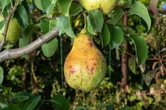 Заболевание грушевого дерев дерева на листьях и плоды закрывают вверх Защита сада против грибка стоковое изображение